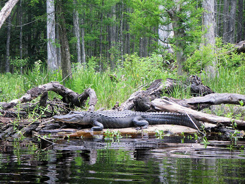 Gator on Driftwood
